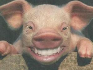 Cerdo sonriente tras ser lavado en repetidas ocasiones