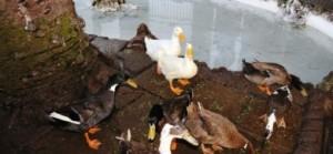 Los patos observan con aprensión la llegada de la policía local