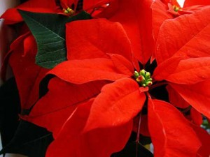Flores de Pascua gratis adornan cientos de hogares santacruceros cada año