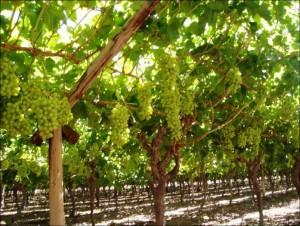 Se confirma que las parras del cura, uvas tienen.